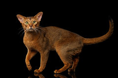 Reinrassige abyssinische Katze lokalisiert auf schwarzem Hintergrund Lizenzfreies Stockbild