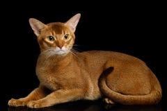 Reinrassige abyssinische Katze lokalisiert auf schwarzem Hintergrund Stockbilder