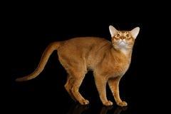 Reinrassige abyssinische Katze lokalisiert auf schwarzem Hintergrund Lizenzfreie Stockbilder