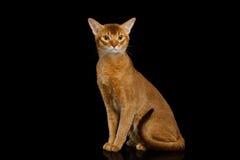 Reinrassige abyssinische Katze lokalisiert auf schwarzem Hintergrund Stockfotos