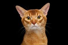 Reinrassige abyssinische Katze lokalisiert auf schwarzem Hintergrund Lizenzfreie Stockfotos