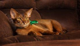 Reinrassige abyssinische Katze mit dem grünen Bogen, der auf brauner Couch liegt Lizenzfreie Stockfotografie