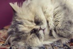 reinrassige graue Katze, die in den Katzen eines Museums schläft Stockfotografie