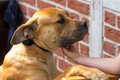 Reinrassige große braune südafrikanische enorme Hundespezies Boerboel Lizenzfreies Stockfoto