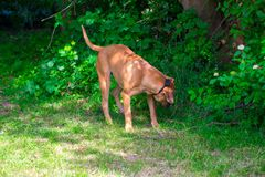 Reinrassige große braune südafrikanische enorme Hundespezies Boerboel Stockfotos