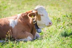 Reinrassige Hereford-Kuh, die auf Alpensonnenlicht-Weidenwiese liegt Lizenzfreies Stockbild