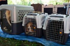 Reinrassige Hunde in den Fördermaschinen für Hunde Stockfotografie