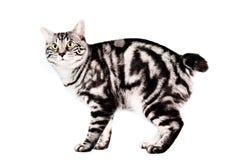 Reinrassige Kunashir Katze Lizenzfreies Stockfoto