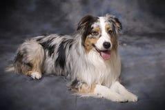 Reinrassiger australischer Schäferhund - blaues Merle Stockfoto