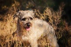 Reinrassiger gelockter roter und weißer Hund im Sommer Lizenzfreie Stockfotografie