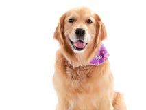 Reinrassiger goldener Apportierhund Lizenzfreies Stockbild