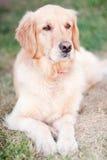 Reinrassiger goldener Apportierhund stockfotografie