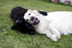 Reinrassiger schwarzer Neufundland-Welpe, der mit einem weißen golden retriever-Erwachsenhund spielt lizenzfreies stockbild