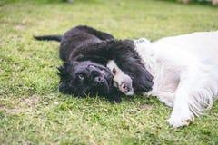 Reinrassiger schwarzer Neufundland-Welpe, der mit einem weißen golden retriever-Erwachsenhund spielt lizenzfreie stockfotografie