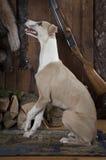 Reinrassiger Whippetjagdhund zuhause Stockfoto