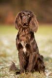 Reinrassiger Zeigerhund lizenzfreie stockfotografie