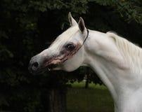 Reinrassiges arabisches Pferd, Porträt einer grauen Stute mit Schmuckzaum lizenzfreies stockfoto