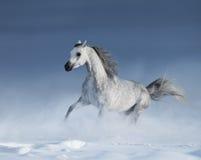 Reinrassiges graues arabisches Pferd, das über Wiese im Schnee galoppiert Stockbilder