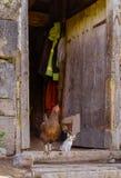 Reinrassiges Huhn mit Kätzchen Stockfoto
