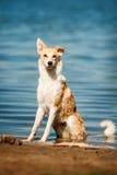 Reinrassiges rotes und weißes Hundestillstehen Lizenzfreies Stockbild