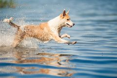 Reinrassiges rotes und weißes Hundestillstehen Lizenzfreie Stockfotos