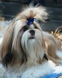 Reinrassiges Shih Tzu im vorderen Vorbereiten, an einer Ausstellung von Hunden durchzuführen lizenzfreie stockfotos