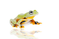 Reinwardt's flying tree frog isolated on white Stock Images
