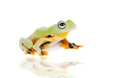 Reinwardt's flying tree frog isolated on white Stock Images