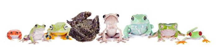 Reinwardt's flying tree frog isolated on white Royalty Free Stock Image