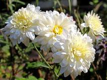 Reinweiß-Chrysanthemen-Blume Stockfoto