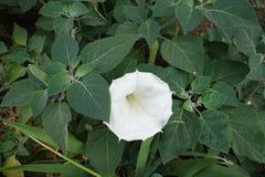 Reinweißblume im leafage des Stechapfels lizenzfreies stockbild