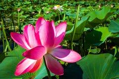 Reis aan de lotusbloemvallei royalty-vrije stock afbeeldingen