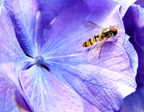 reis aan hydrangea hortensia royalty-vrije stock afbeeldingen