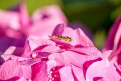 Reis aan hydrangea hortensia - wesp op hydrangea hortensiabloem royalty-vrije stock foto's