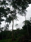 Reis in Amazonië - is van aard benieuwd Royalty-vrije Stock Foto