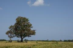 Reis-Arbeitskräfte, die unter Schatten des heiligen Baums stillstehen Lizenzfreie Stockfotografie