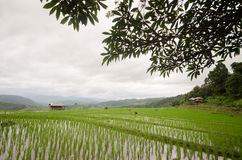Reis archivierte Terrasse in der Erntezeit Stockfotos