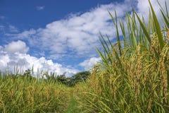 Reis auf dem Reisgebiet bereit zu ernten lizenzfreies stockbild