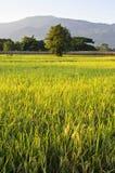 Reis-Bauernhof mit Gebirgshintergrund Lizenzfreies Stockfoto