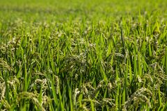 Reis bereit zu ernten Stockfotos