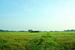 Reis das meiste Auge auf Thailand Lizenzfreies Stockbild