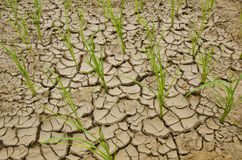 Reis, der auf Dürreland wächst Lizenzfreies Stockbild