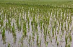 Reiswachsen Stockbild