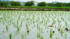 Reis, der auf der indischen Landwirtschaft bewirtschaftet stockfoto