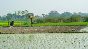 Reis, der auf der indischen Landwirtschaft bewirtschaftet stockfotografie