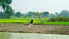 Reis, der auf der indischen Landwirtschaft bewirtschaftet lizenzfreie stockfotografie