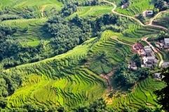 Reis, der im Vorfrühling von Sichuan verpflanzt Lizenzfreie Stockfotografie