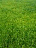 Reis, der Jahreszeit in Thailand bewirtschaftet stockbild