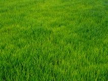 Reis, der Jahreszeit in Thailand bewirtschaftet lizenzfreies stockfoto