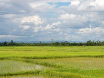 Reis, der Jahreszeit in Thailand bewirtschaftet stockfotografie